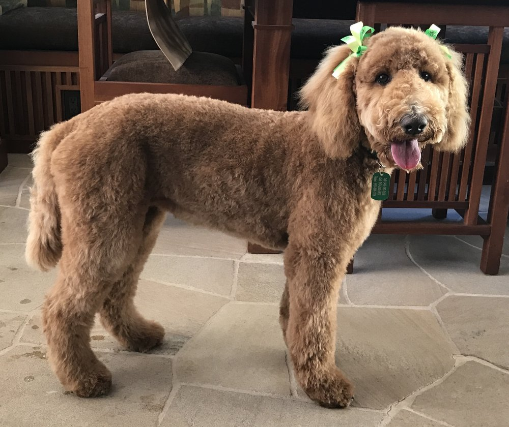 Ivy Puppy Standard Poodle In A Hand Scissored Teddy Bear Clip By
