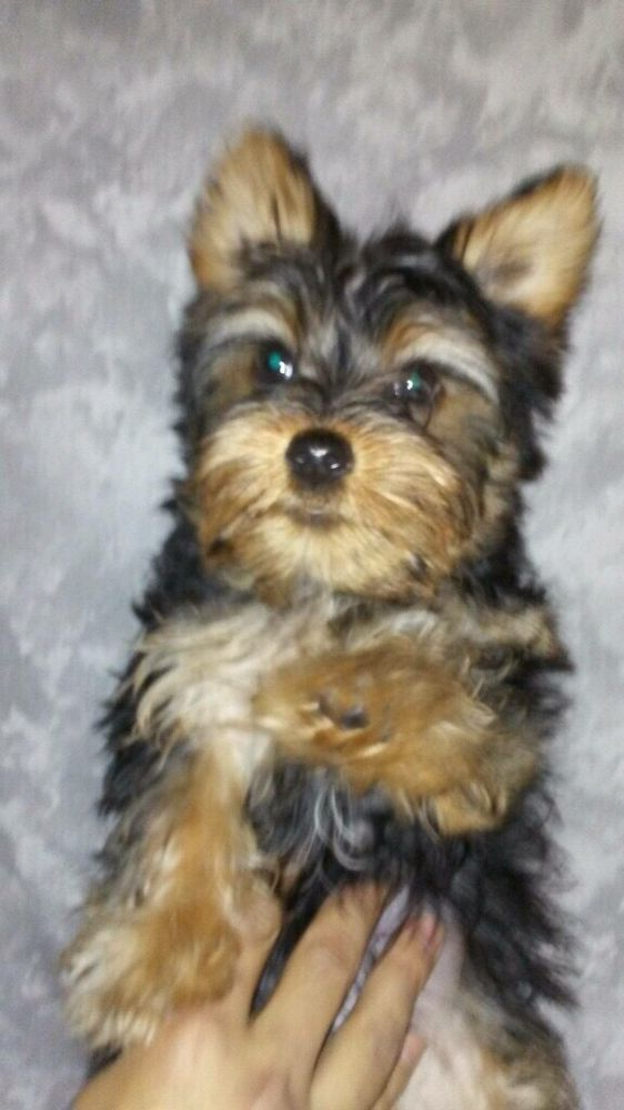 12 Week Old Puppy Yorkie Yelp
