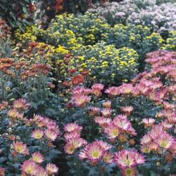 Photo Of Chin Ling Nursery Singapore Beautiful Chrysanthemum