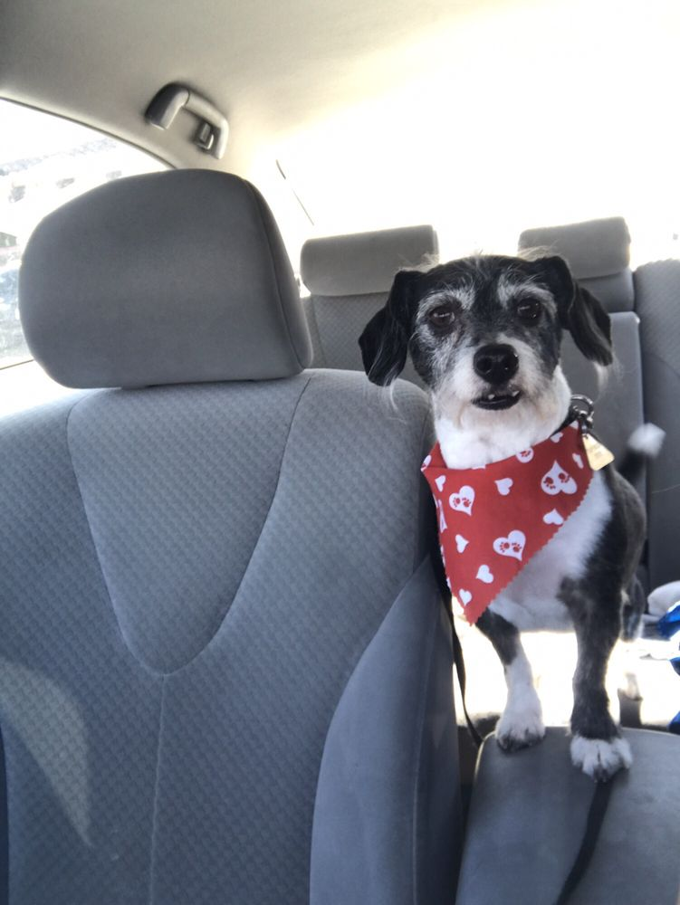 Photo of Mutt Cutts Pet Grooming - Chino, CA, United States. Bowie after