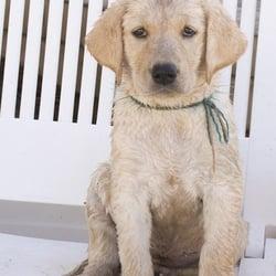 Top 10 Best Labrador Breeders In Phoenix Az Last Updated April