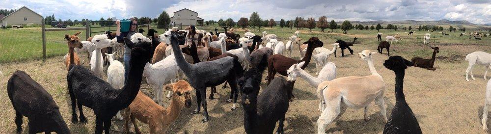 Sentinel Ranch Alpacas AlpacaLand Montana: 3765 Sales Rd, Belgrade, MT