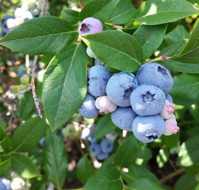 Blue Sky Berry Farm: 15552 S 1050th W, Wanatah, IN