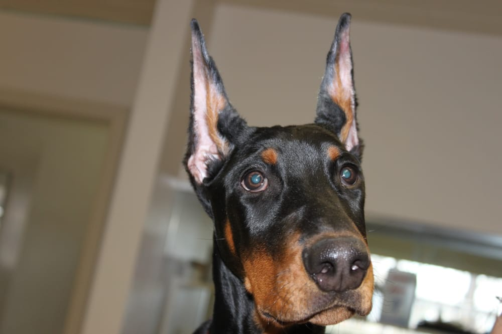 We Specialize In Doberman Ear Cropping And Posting Yelp