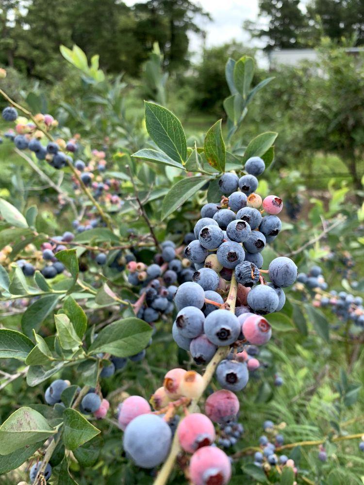 Echo Springs Blueberry Farm: 7235 Fm 607 N, Murchison, TX