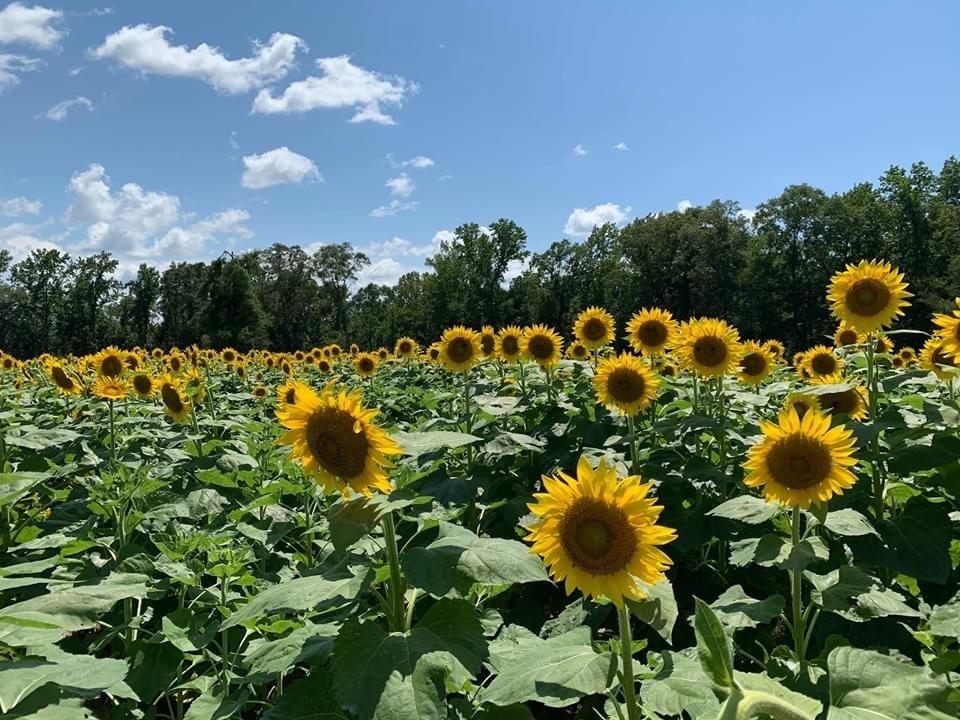 The Sunflower Field: 3301 Hwy 14 W, Autaugaville, AL