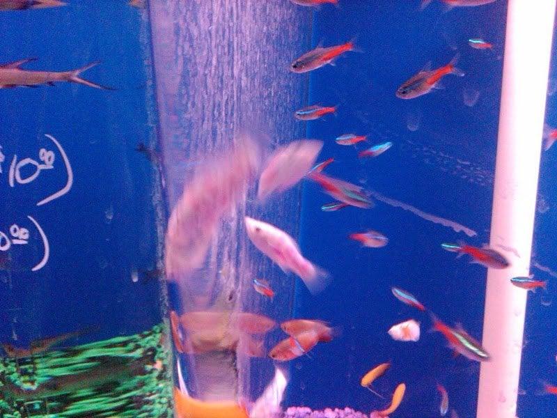 Tattooed Fish Freshwater Section Yelp