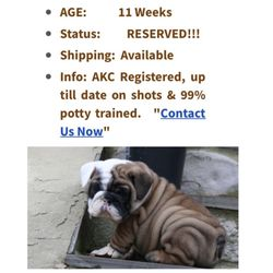 English Bulldog puppies For Adoptions - CLOSED - 2019 All