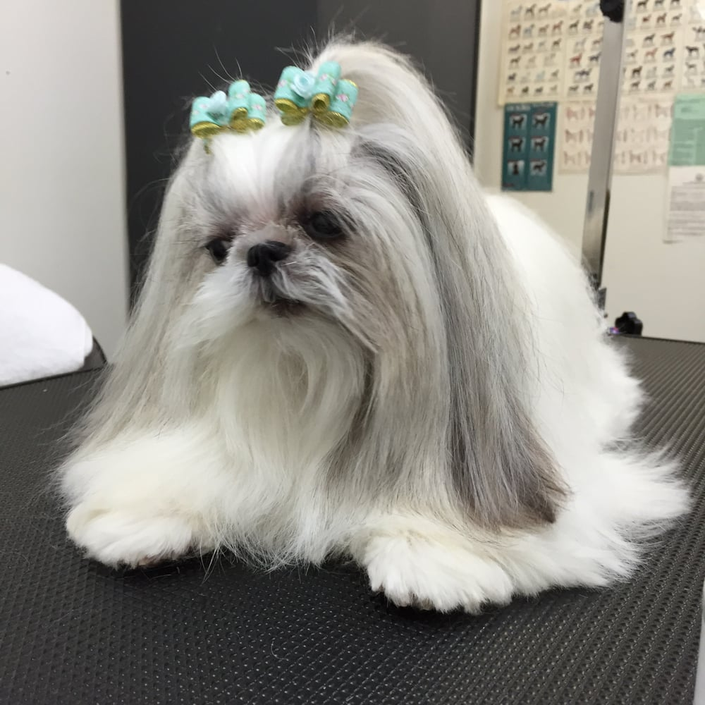 Princess princess dog grooming studio 17 photos pet groomers photo of princess princess dog grooming studio lexington ky united states shih solutioingenieria Choice Image