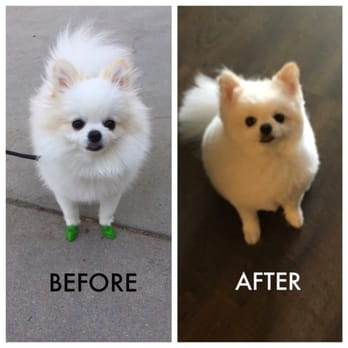 Pomeranian Haircut Before And After