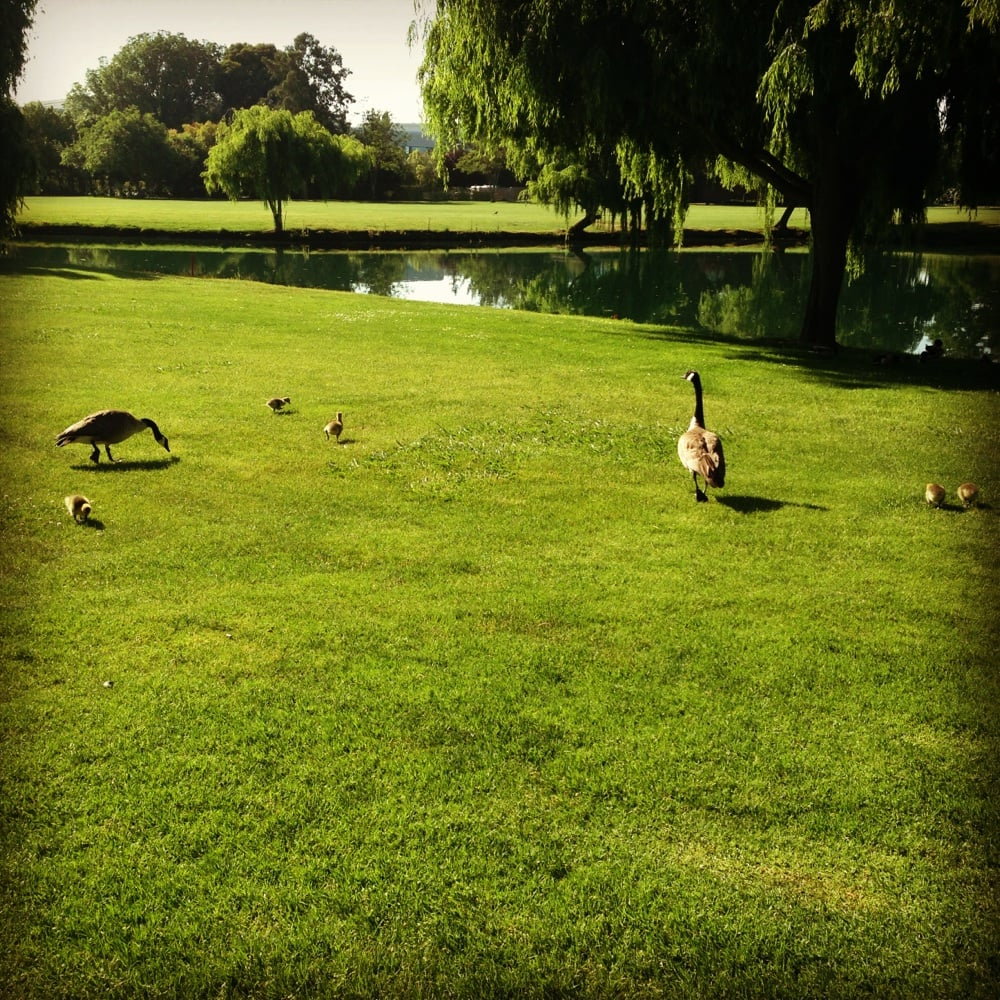 Goose Family Going Down The 2nd Fairway Yelp