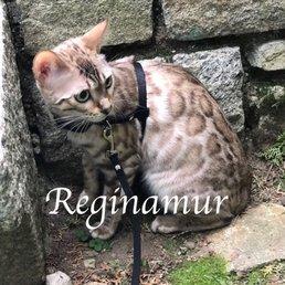 Kittens Bengal - Pet Breeders - 837 Selmer Rd, Somerton