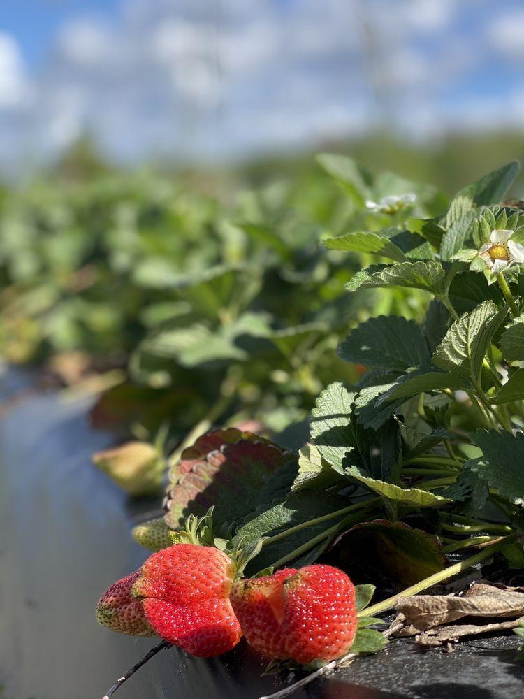 Pappy's Patch U-Pick Strawberries: 501 Florida Ave, Oviedo, FL