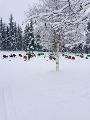 GoldStream Huskys 314 Parks Hwy Nenana, AK Tours Operators