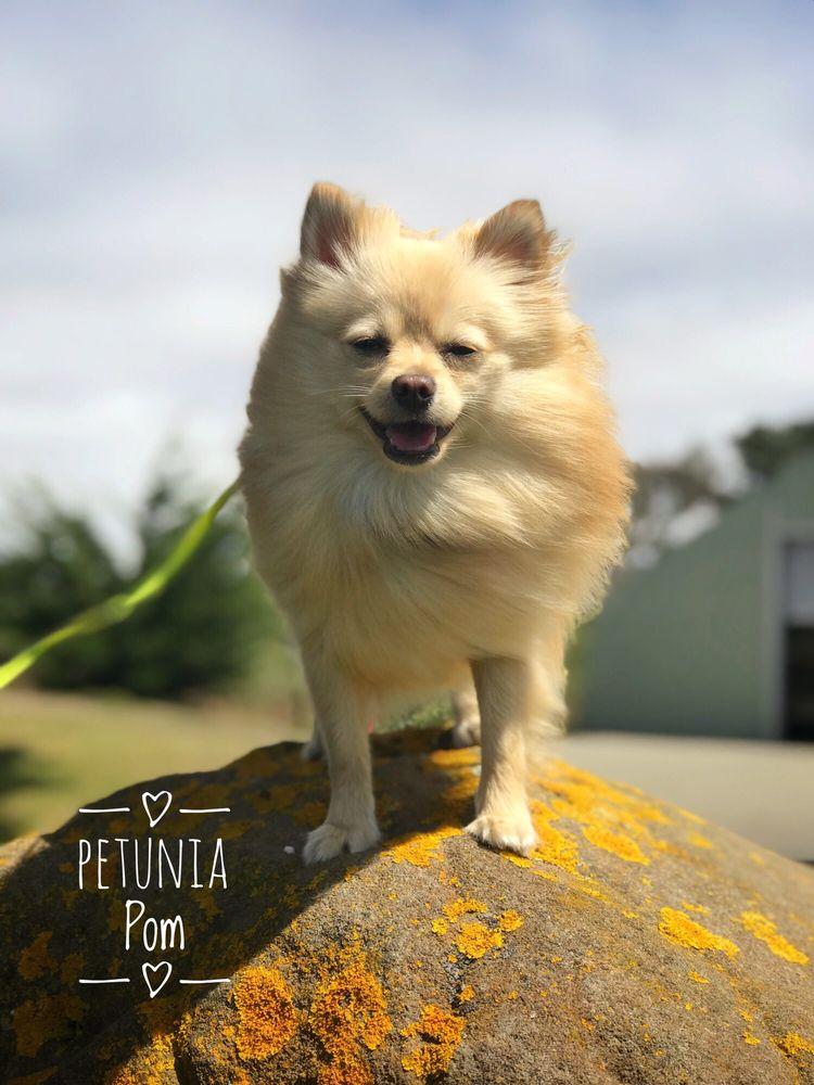 Paragon Pomeranians: Cobb, CA