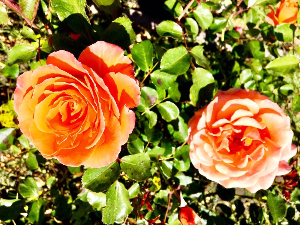 Roses In Garden: Beautiful Rose Garden.