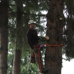 Photo Of Kiwi Tree Service Bellingham Wa United States Thinning Out The