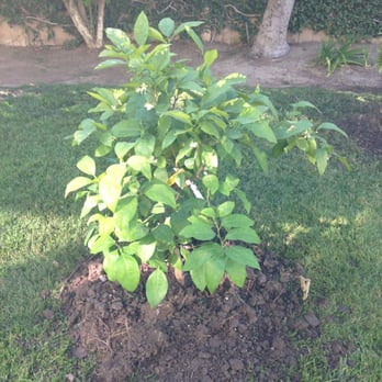 Photo Of Mimosa Nursery Anaheim Ca United States Grapefruit Tree I Bought