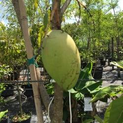 Photo Of Riverland Nursery Fort Myers Fl United States Huge Mango On