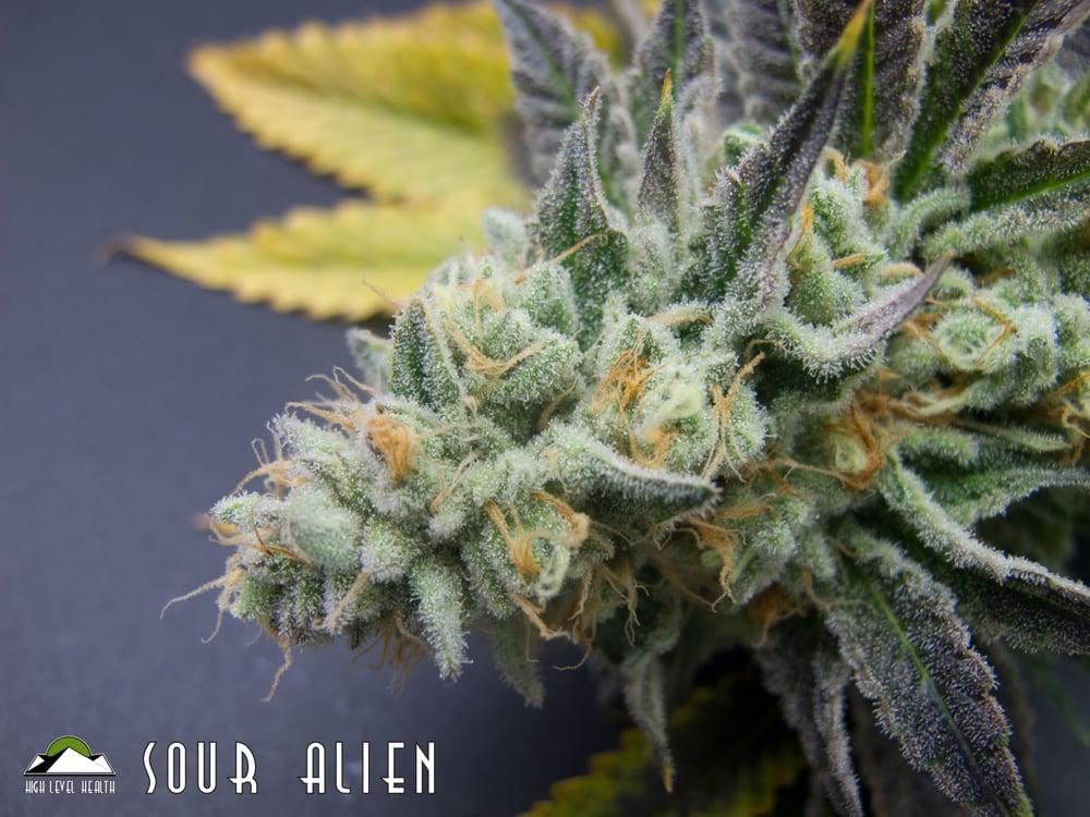 Sour Alien's cross strains include: Original Sour Diesel and