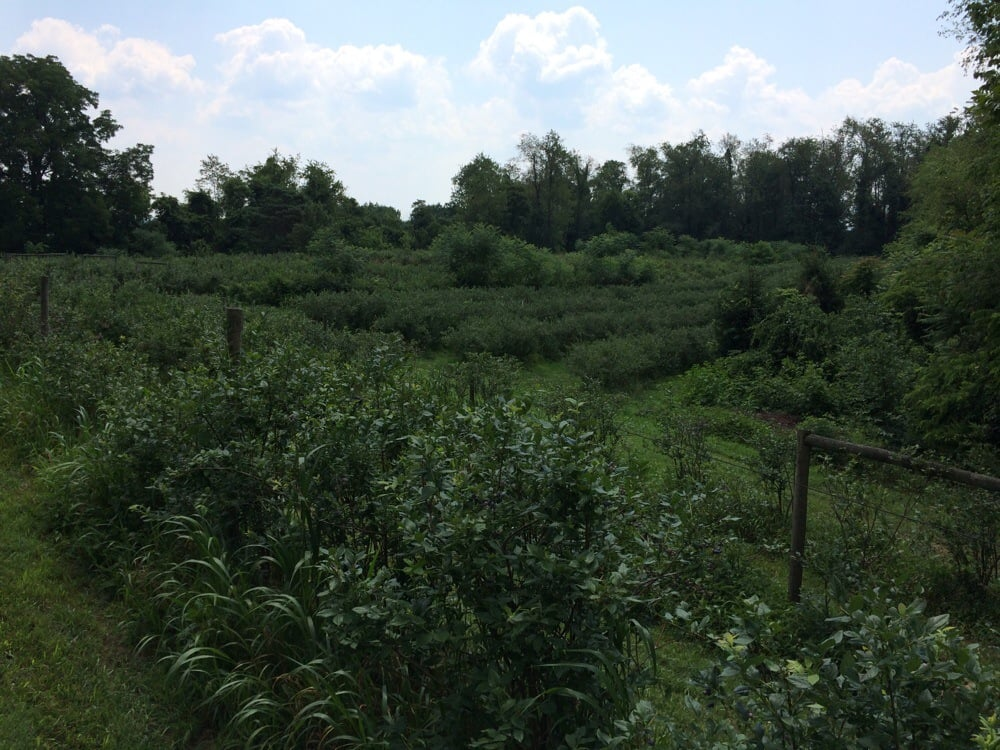 Kilgore Farms U-Pick Blueberries: 56448 Kilgore Rd, Bellaire, OH