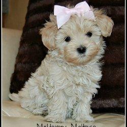 McHenry Maltese - Pet Breeders - Crystal Lake, IL - Yelp