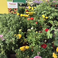Photo Of Armstrong Garden Centers   Glendora, CA, United States. Beautiful  Ranunculus,