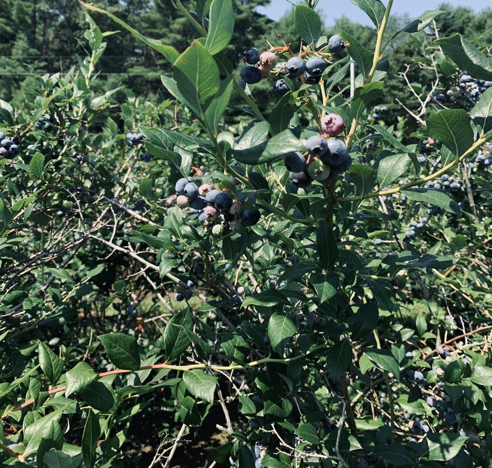 Pinecrest Berry Farm: 1 Pinecrest Rd, Carolina, RI
