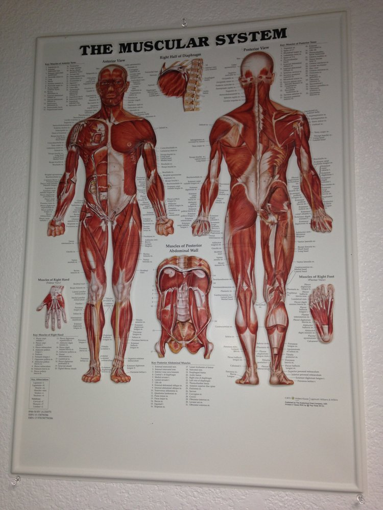 Muscular System 640 Muscles In Our Bodies Yelp
