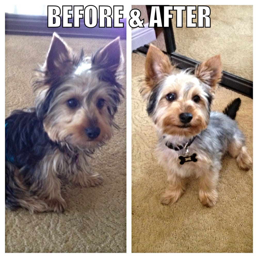 My Yorkie Puppys First Grooming Experience Was Great He Is Very