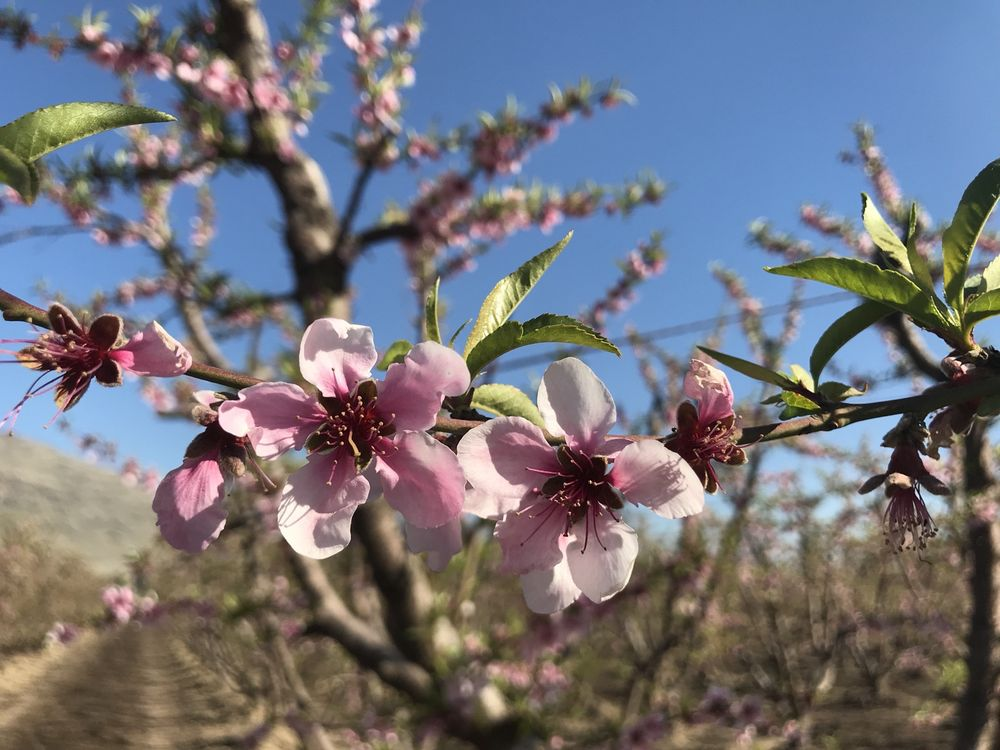 Fresno County Blossom Trail