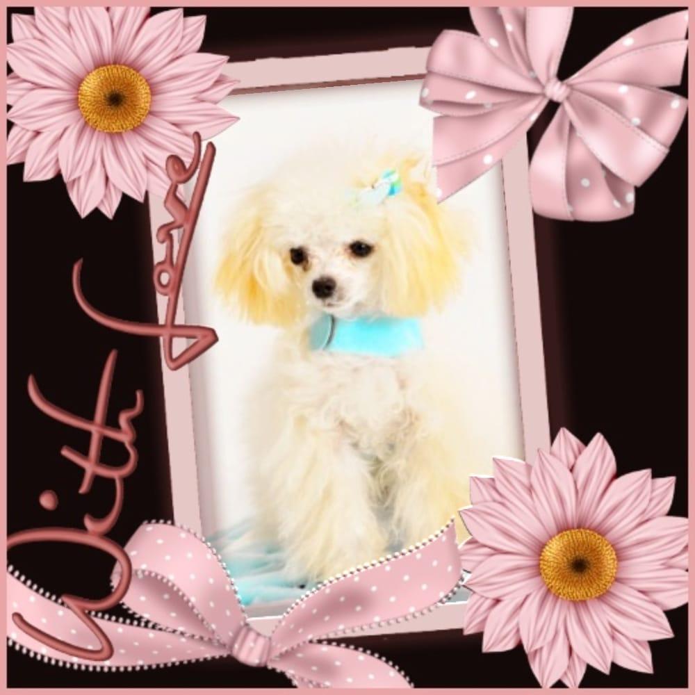 Daisy Teacup Poodles: Miami, FL