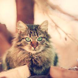 Taigamoon Siberian Cats - Pet Breeders - Centennial, Las
