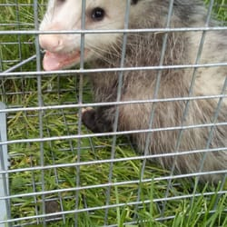 Photo Of Bat Specialist Michigan Ortonville Mi United States Opossum Removal