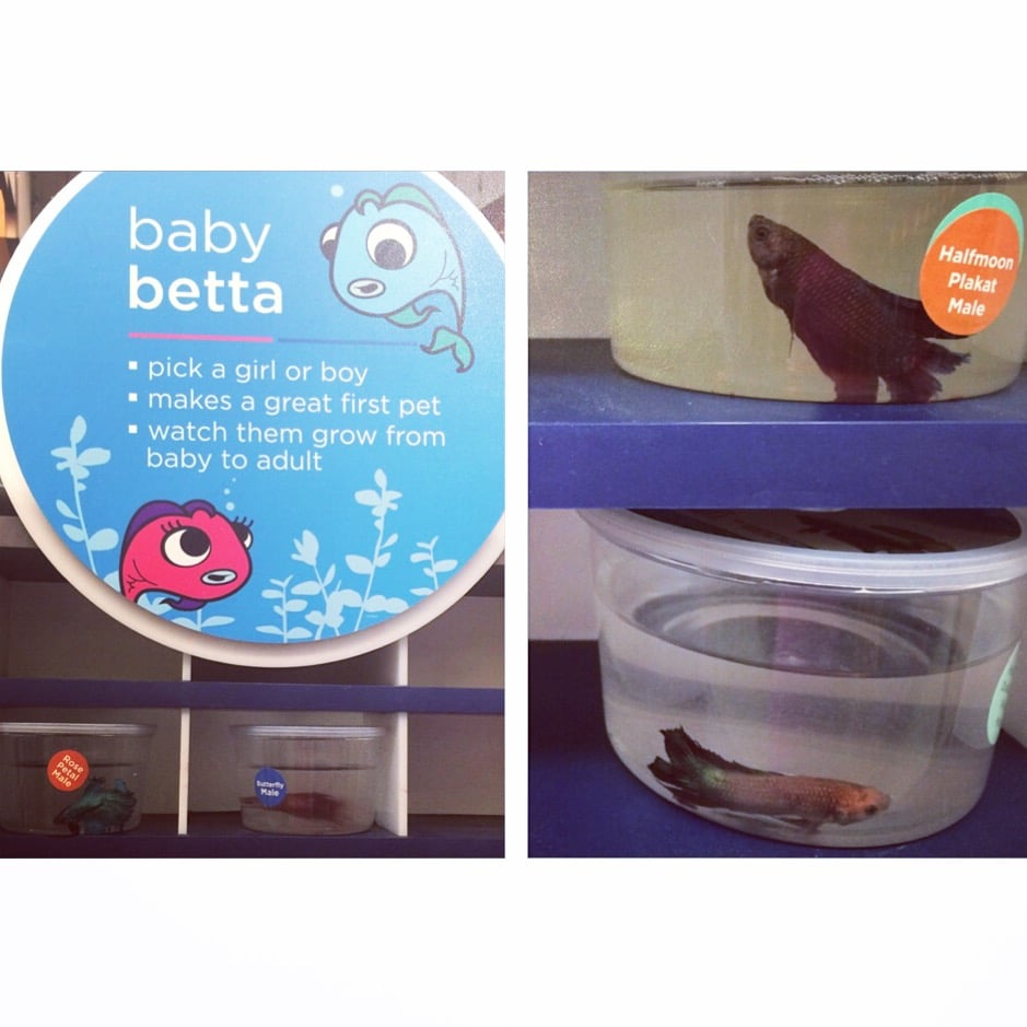 Baby Betta Fish | Could Not Bring Myself To Buy Litter After This Tragic Display Of