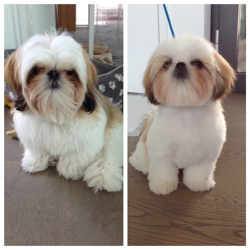 Shih Tzu Haircuts Teddy Bear