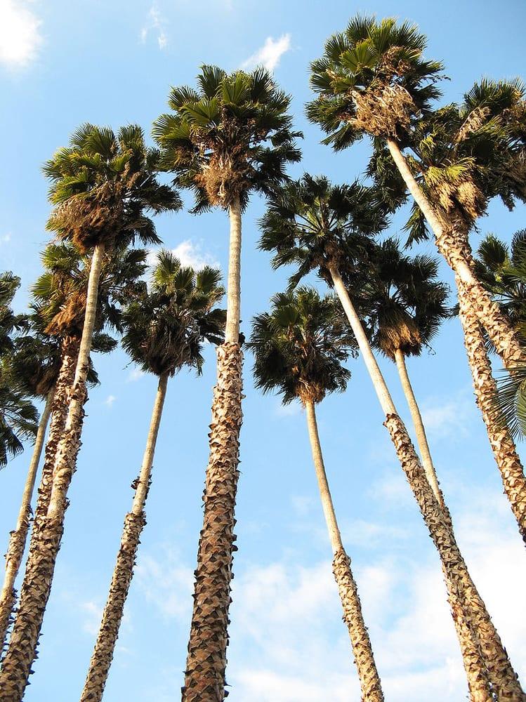 washingtonia robusta palm trees san diego los angeles houston las