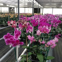 Photo Of Chons Orchid Nursery Apopka Fl United States Valentine Orchids