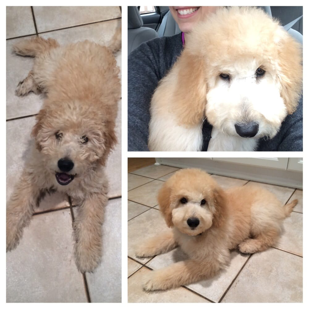 goldendoodle haircut before and after pictures before left and after right my mini goldendoodle