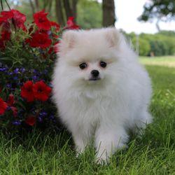 Force S Pomeranian Pet Breeders Lesueur Mn Phone Number Yelp