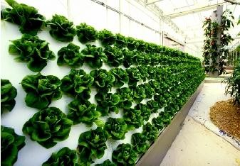 Hydroponic Wall Of Lettuce Yelp