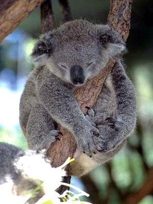 Koala E.