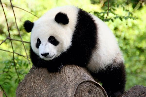 Panda N.