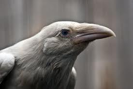 Raven V.