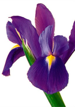 Iris J.