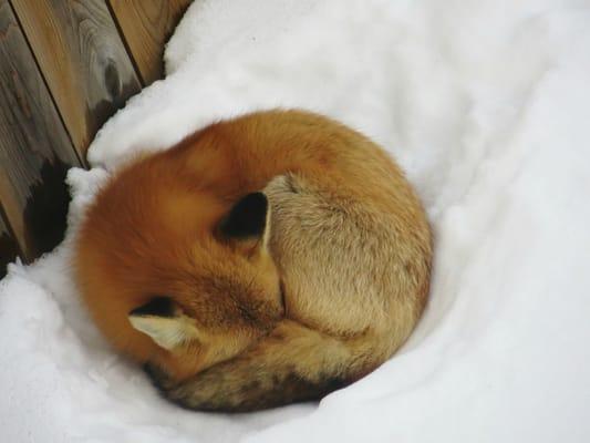 Fox K.