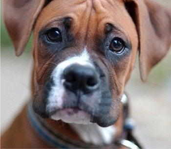 Boxer D.