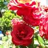Yelp user Rose R.