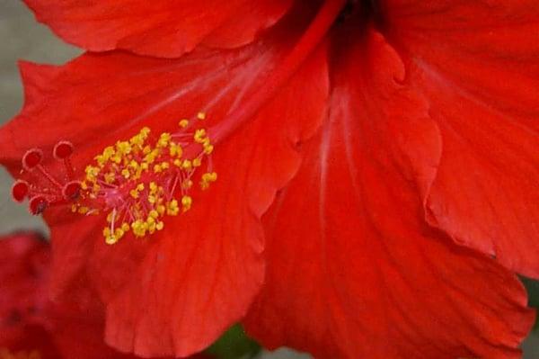 Red Hibiscus T.